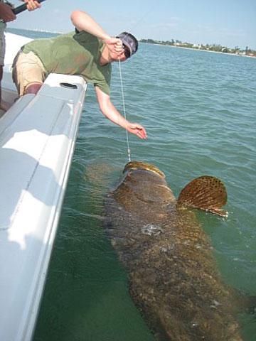 Goliath grouper fishing cape coral for Goliath grouper fish